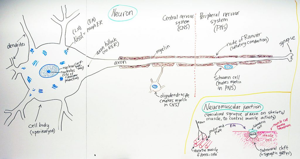 Peripheral Nervous System: NeuronA hand drawn sketch by Dr. Christensen from the University of Michigan Medical School
