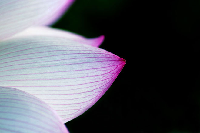 Indian Lotus / Nelumbo, photo: titanium22