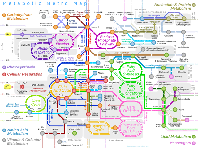 Metabolic Metro Map By Chakazul (Own work) [CC BY-SA 4.0 (http://creativecommons.org/licenses/by-sa/4.0)], via Wikimedia Commons